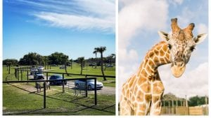 This drive-thru safari park in Florida is still open during the coronavirus outbreak