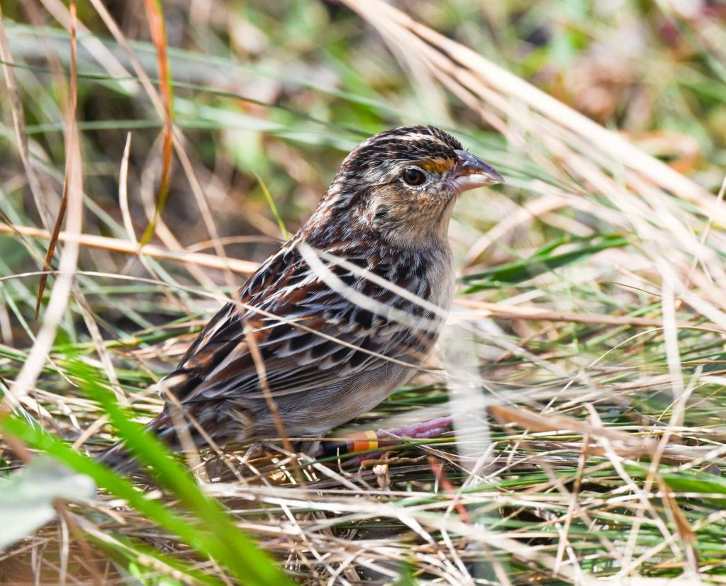 Florida grasshopper sparrow will probably go extinct. A conservation effort may be the last hope.