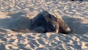 Massive leatherback sea turtle spotted nesting on Florida beach